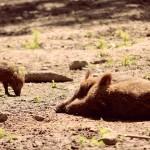 Wildschweineltern