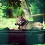 Wolf im Schatten